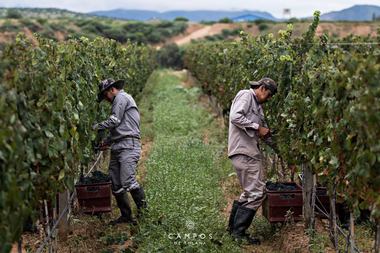 Vignes en Bolivie
