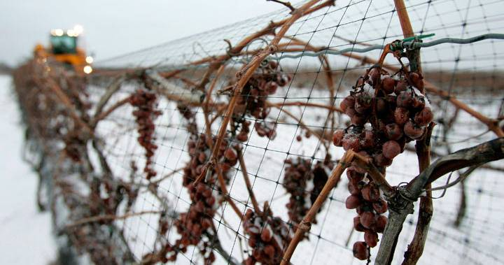 Grapes in the snow