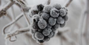 Raisins glacés qui permettront de faire du ice wine