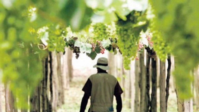 Peru wineyard