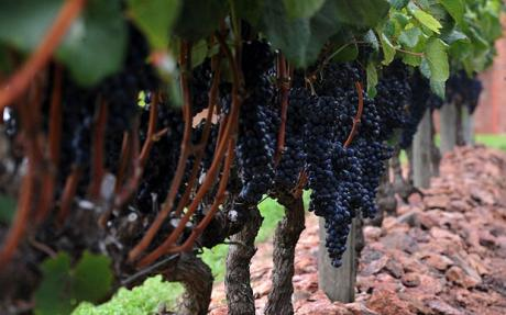 Wine in Uruguay, a new wine country