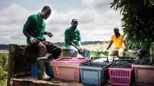 Les employés cueillent des raisins au domaine viticole Assiami sur le plateau de Batéke, dans le sud-est du Gabon, le 22 mai 2019