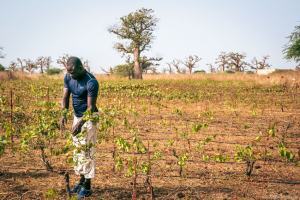Vignes au Senegal