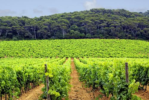 LEs vignobles de la côte d'Azur