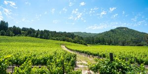 Grape varieties in Sonoma valley