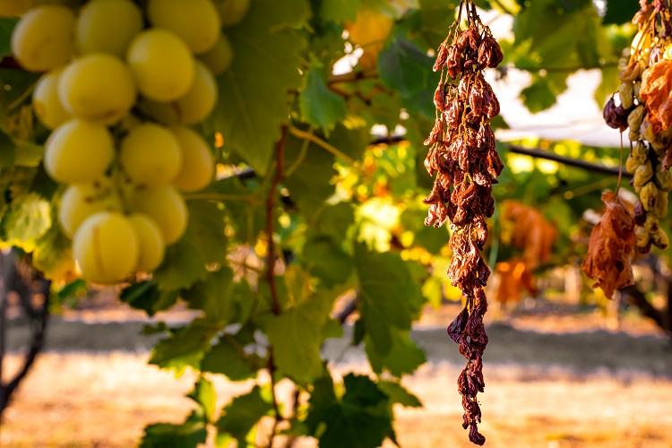 Sécheresse dans les vignes