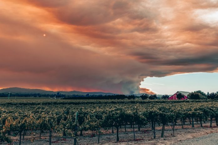 Fires in the vineyards