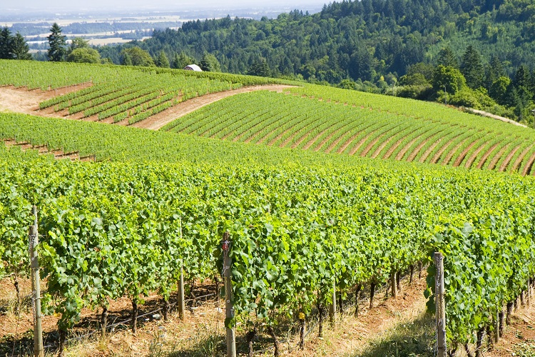 Dundee Hills  - Oregon