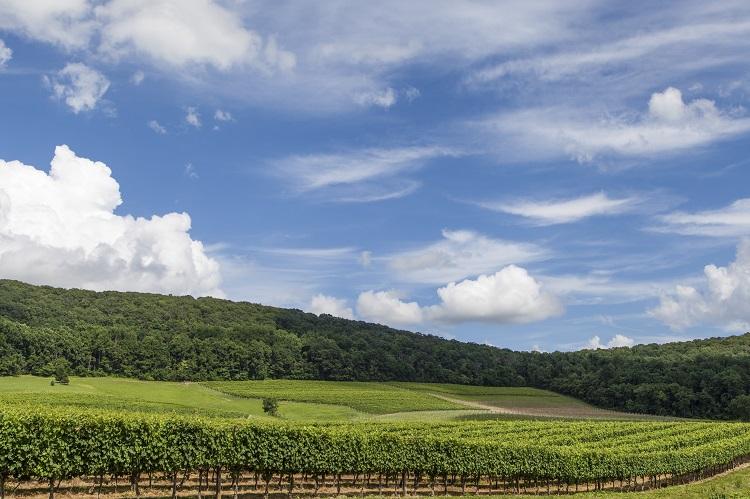 Vineyard - Virginia