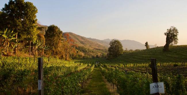 Vineyard in Burma