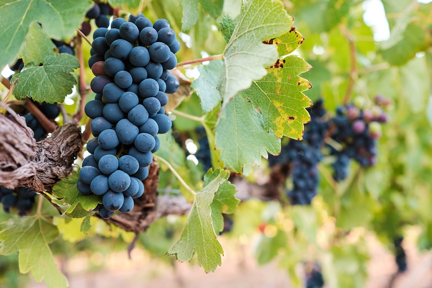 All about the mourvedre