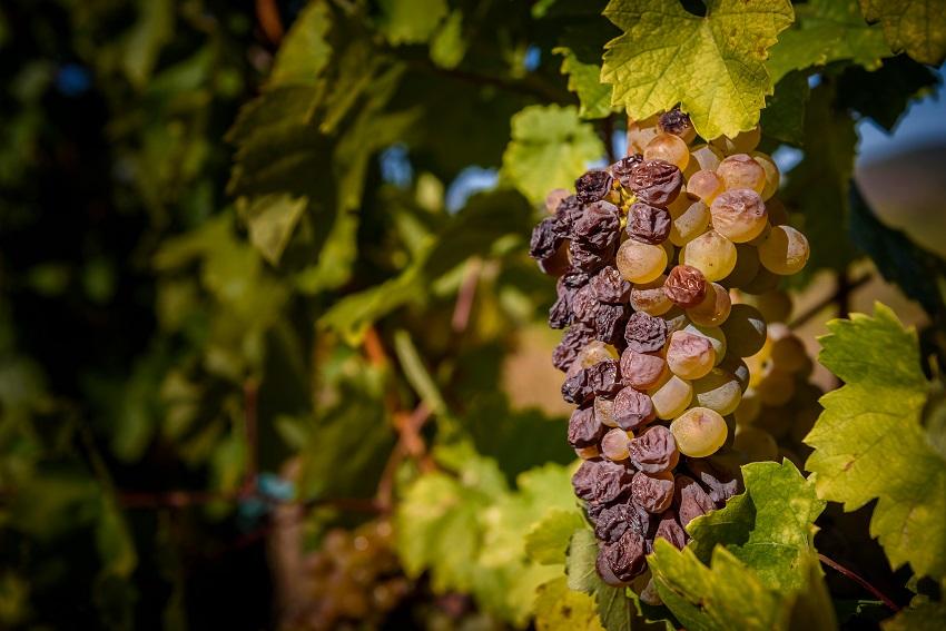 Vendanges tardives, raisins botrytisés