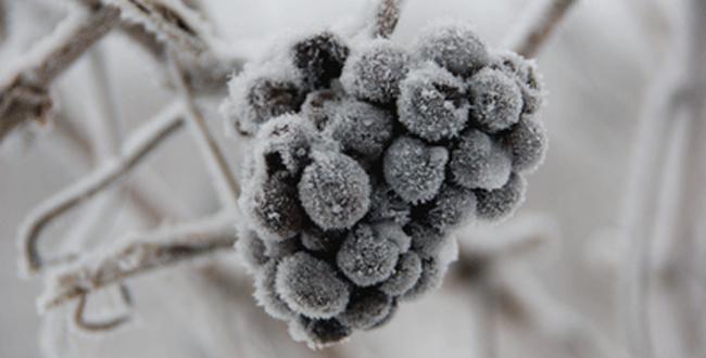 Late harvest: ice wine